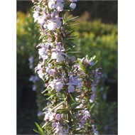 1.3L Tuscan Blue Rosemary - Rosmarinus officinalis