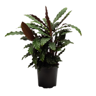 170mm Assorted Elite Foliage