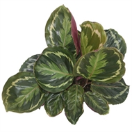 17cm Assorted Elite Foliage Mix