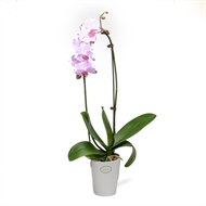 120mm Moth Orchid Bamboo Arch - Phalaenopsis orchid