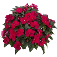 Magnum Impatiens 17cm Assorted