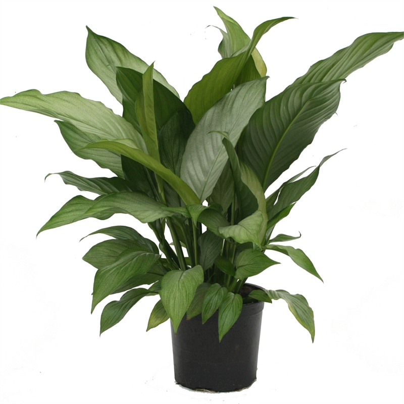 15cm Peace Lily Silver Star Spathiphyllum Bunnings